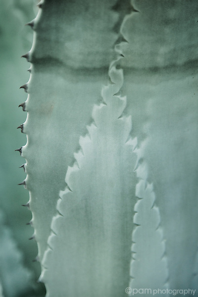 Closeup of agave leaf focusing on the patterns of the ridges