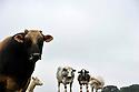 14/06/11 - CONDROZ - BELGIQUE - Taureau Aubrac utilise en croisement dans un troupeau allaitant de race Blanc Bleu Belge - Photo Jerome CHABANNE