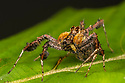 Jumping Spider (Portia sp.), specialising in hunting other spiders in their webs. In an example of aggressive mimicry, Portia sends vibrations through the victim's web to mimic trapped prey or a courting male. The web-owner reacts by running over to the source of the vibrations whereupon Portia launches the fatal attack, paralysing its victim with a carefully aimed bite. Portia is able to adapt is hunting strategy to different prey species. Danum Valley, Sabah, Borneo. June.