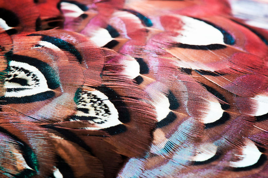 The breast feathers of a rooster pheasant.
