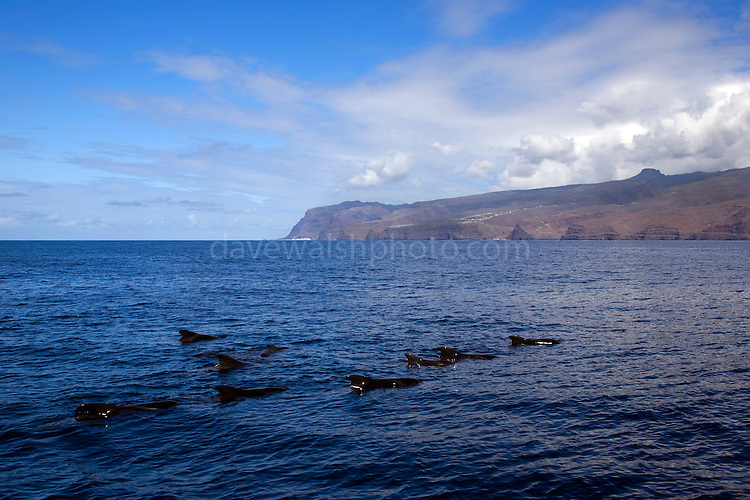 Short-finned pilot whales, Globicephala macrorhynchus, off the coast of La Gomera, in the Canary Islands, from whalewatching boat 'Tina'.