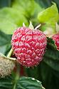 Raspberry 'Joan J', early September.