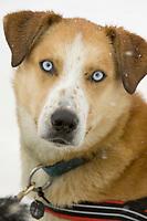 Closeup of Bryan Mills Dog *Doc* @ Takotna Chkpt 2005 Iditarod