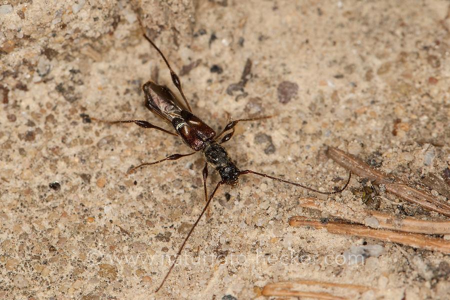 Kleiner Wespenbock, Dunkelschenkliger Kurzdeckenbock, Dunkelschenkeliger Kurzdeckenbock, Fichten-Kurzdeckenbock, Fichtenkurzdeckenbock, Molorchus minor, spruce shortwing beetle