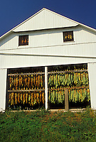 AJ3018, tobacco, amish, Amish country, Lancaster County, Pennsylvania, Pennsylvania Dutch Country, Tobacco leaves hang to dry in an Amish barn in Lancaster in the state of Pennsylvania.