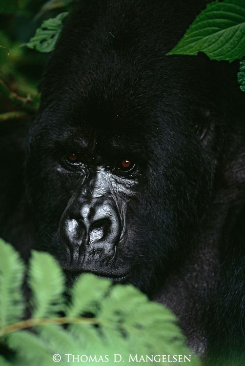 A portrait of a gorilla in the Virunga Mountains in Volcanoes National Park, Rwanda.