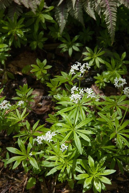 Galium odoratum in spring bloom