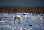 Polar bears, Canada