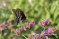 03009-01914 Black Swallowtail (Papilio polyxenes) male on Brazilian Verbena (Verbena bonariensis) Marion Co. IL