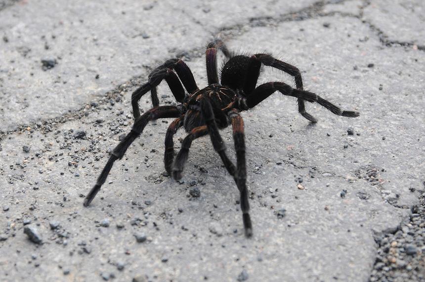 Why did the tarantula cross the road? Village of Mindo, Ecuador