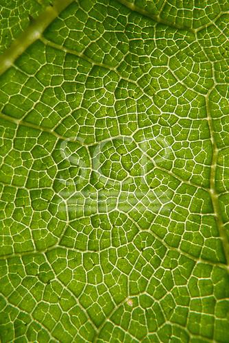 Richmond Park, England. Detail of green leaf veins.