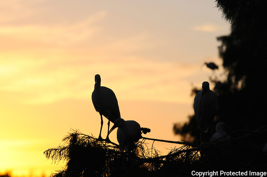 """Sunset at Wakodahatchee Wetlands, Delray Beach, Florida finds birds of all species """"flying in for the night"""" and claiming their places on  tree branches."""