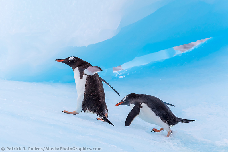 Two penguins on floating iceberg in Cierva Cove, Antarctica.
