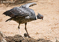 0214-1204  Southern Screamer (Crested Screamer), Chauna torquata  © David Kuhn/Dwight Kuhn Photography