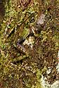 Lichen/moss mimic tree frog (Spinomantis aglavei) active at night. Marojejy National Park, north east Madagascar.