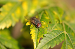 Flesh Fly, Sarcophagid, Southern California