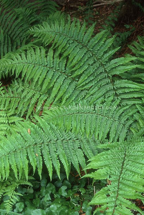Dryopteris filix-mas 'Undulata Robusta' (Robust Male Fern) Good in shade or sun