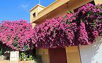 Attractive bougainvillea flowering plant, village of Toto, Pajara, Fuerteventura, Canary Islands, Spain