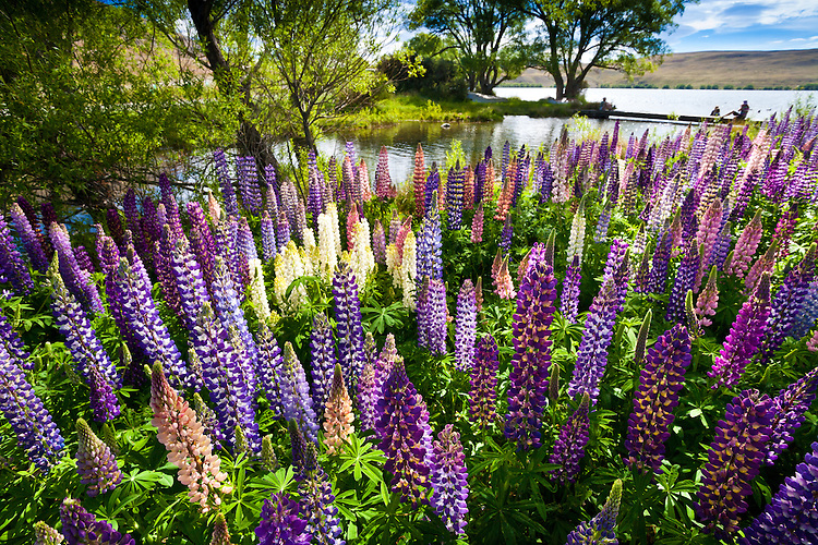 Flowering lupins, Lake Alexandrina, McKenzie Country, South Island, New Zealand