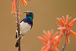 White-bellied Sunbird (Nectarinia talatala) male, Kruger National Park, South Africa