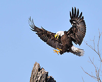 Bald Eagle of Llano, Texas approaches a landing.  The nest near Llano has now been active for 6 years.  A pictorial history of the nest is available on www.cottonwoodphotography.com