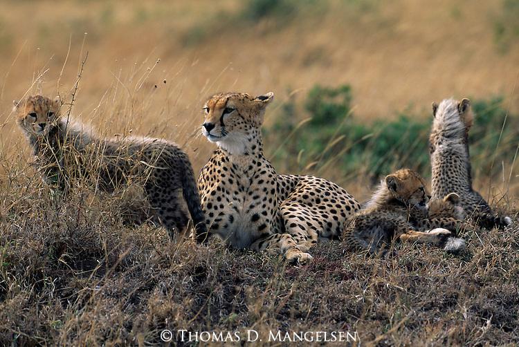 A cheetah family in Serengeti National Park, Tanzania