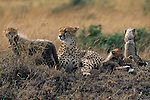 A cheetah family in Serengeti National Park, Tanzania