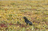 Raven on the tundra, arctic coastal plain, Arctic, Alaska.