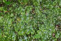 Kegelkopf-Lebermoos, Kegelkopfmoos, Kegelköpfiges Lebermoos, Conocephalum conicum, Scented Liverwort