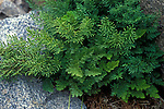 Rockbrake or Parsley Fern (Cryptogramma), Sierra Nevada Range, California, USA