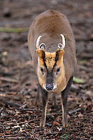 Muntjac Muntiacus reevesi Shoulder height 38-45cm Tiny, unobtrusive deer. Territorial and mainly solitary. Browses low vegetation. Adult is mainly reddish brown coat with whitish chest and belly. Has large head (with converging dark stripes on forehead) and short legs. Tail is long, reddish brown above but whitish below; conspicuous when raised in alarm. Male (buck) develops tusk-like upper canine teeth; antlers appear in autumn, shed the following summer. Female (doe) does not grow antlers. Fawn is tiny and reddish brown with white spots. Utters a piercing bark. Introduced from Far East, now locally common in scrub, woods and gardens.
