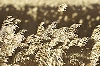 Reedbed - Phragmites communis