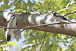 Two male Downey woodpeckers sparing for dominance on tree limb. Dominance display with wings and tail spread.