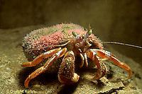 1Y30-012a  Acadian Hermit Crab - Pagurus acadianus