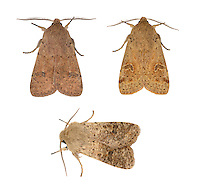 Small Quaker Orthosia cruda<br /> 73.245 (2182)<br /> Length 15-19mm. A rather drab spring-flying moth of deciduous woodland that feeds on sallow blossom; rests with its wings in a tent-like manner. Adult has grey-buff to reddish-buff wings marked with small dots and a large, dark kidney-shaped spot. Flies March-April. Larva feeds on deciduous trees including willows and oaks. Widespread and fairly common in southern and central Britain; much more local in Scotland.