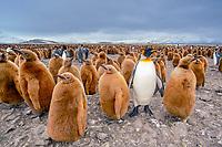 king penguin, Aptenodytes patagonicus, adult and chicks, Salisbury Plain, South Georgia, South Atlantic Ocean