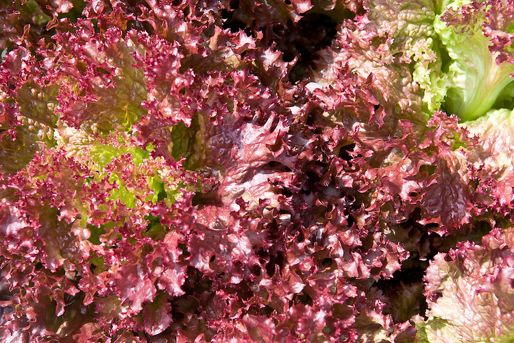 Lettuce 'Lollo Rossa', mid June. Seeds sown 9 weeks ago, and seedlings planted out 5 weeks ago.