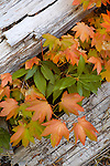 Vine maple (Acer circinatum) and logs, fall, Rogue River National Forest, Oregon