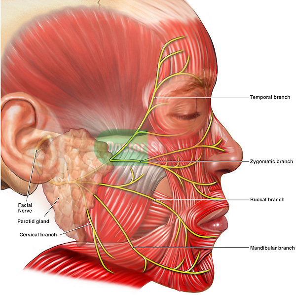 Depicts the branches of the facial nerve, along with associated muscles of the face.