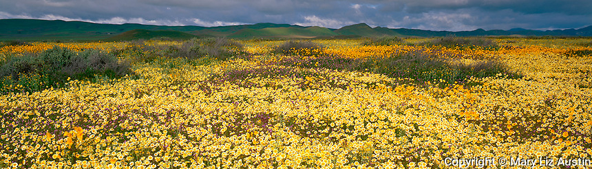 Carrizo Plain National Mounment, CA<br /> Field of tidy-tips (Layia glandulosa) fill the desert under the distant Caliente Range and a stormy sky