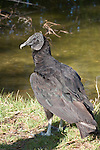 Black vultures are a common sight in the Everglades.