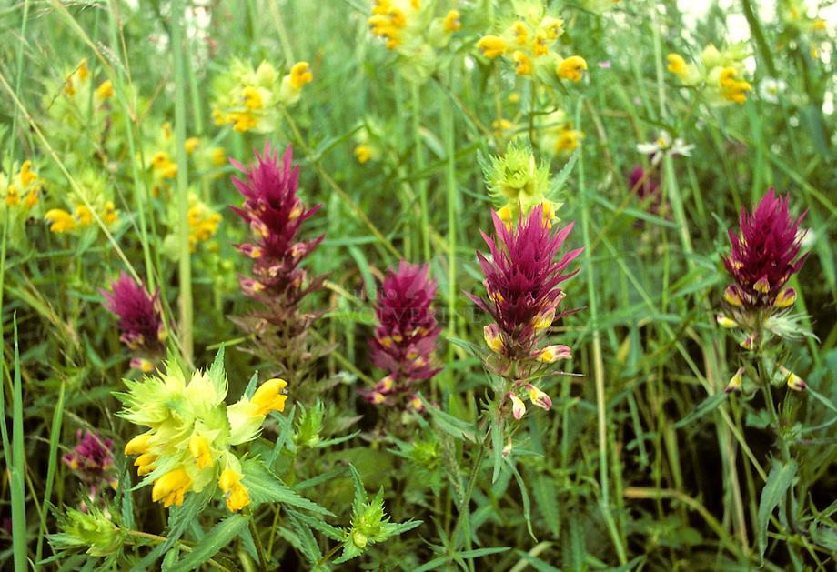 Wilde weit (Melampyrum arvense) en Grote ratelaar  (Rhinanthus angustifolius).