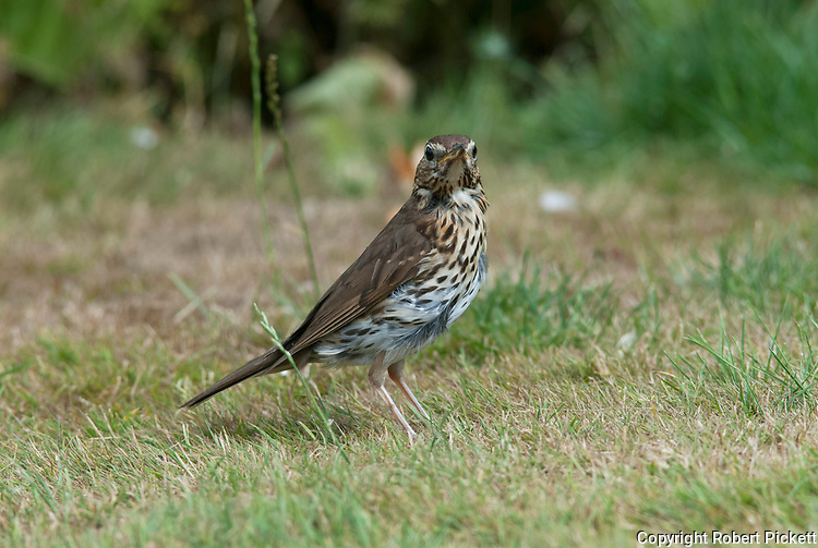 Song thrush, Turdus philomelos, on lawn in garden