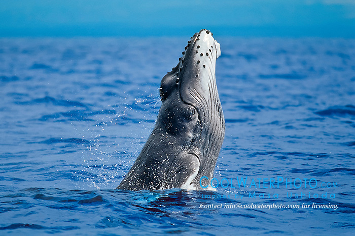 humpback whale, Megaptera novaeangliae, head breaching calf with smooth, light gray color characteristic of a newborn, approximately 12 feet in length and weighing upwards of two tons, Hawaii, USA, Pacific Ocean