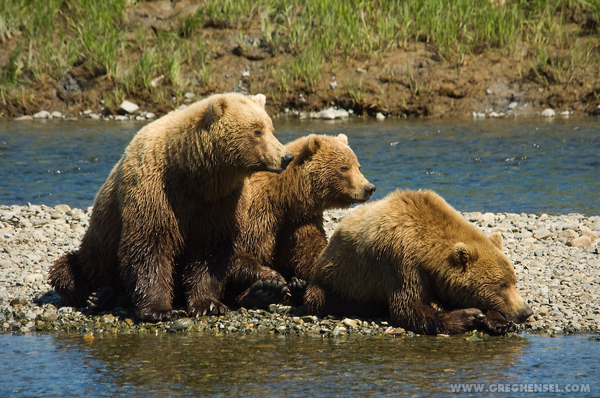A Mother Grizzly Bear and her cubs wait for Salmon at Mikfik Creek. McNeil River Brown Sanctuary. Summer in Southwest Alaska.