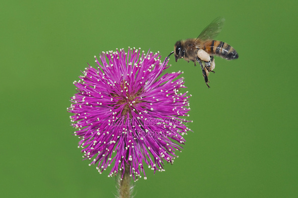 Honey Bee (Apis mellifera), adult in flight landing on Sensitive Briar (Mimosa nuttallii), Sinton, Corpus Christi, Coastal Bend, Texas, USA