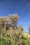 Israel, Shephelah, flowers in Masua forest