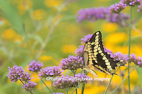03017-01318 Giant Swallowtail butterfly (Papilio cresphontes) on Brazilian Verbena (Verbena bonariensis), Marion Co., IL