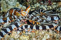 Wunderpus octopus, Wunderpus photogenicus, Lembeh Strait, North Sulawesi, Indonesia, Pacific