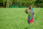 Rowshan Ara walks through a rice field she is weeding in Kunderpara, a village on an island in the Brahmaputra River in northern Bangladesh.